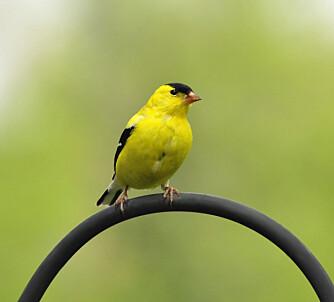For å fange småfugler, lurte man dem på limpinnen.