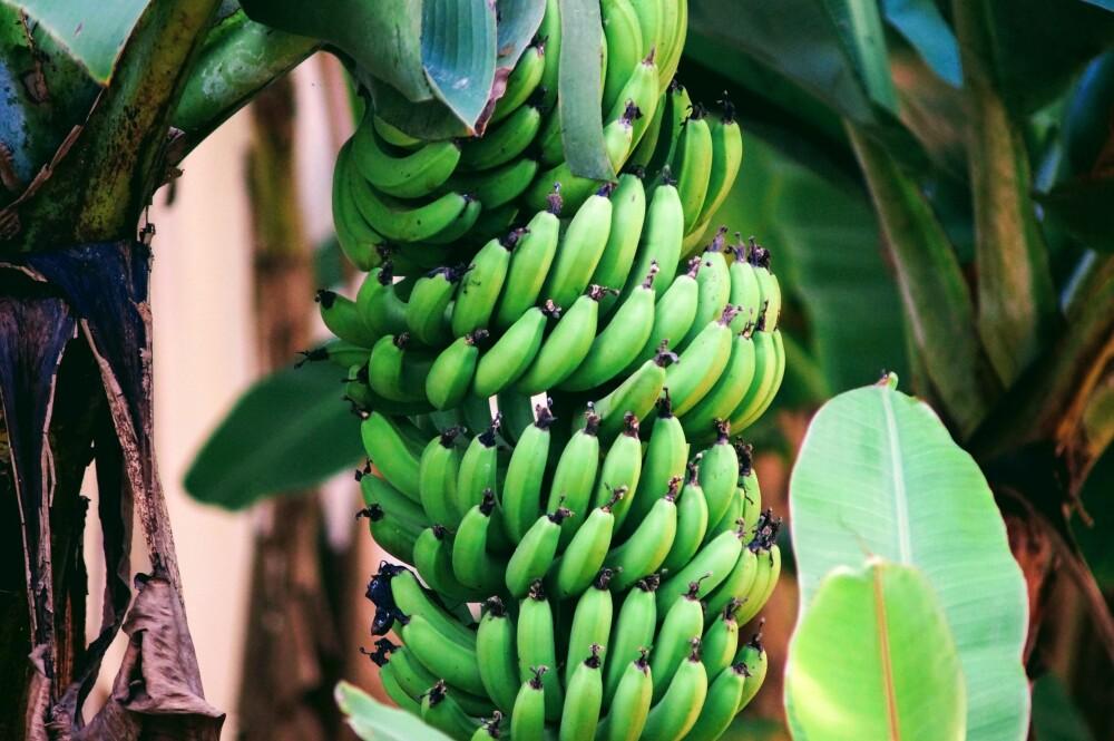 PRODUKSJON: Bananen høstes umoden, vaskes, pakkes og transporteres i klimarom for å bremse modningsprosessen. Bananen modnes ferdig ved hjelp av etylengass og økt temperatur når den kommer til Norge.