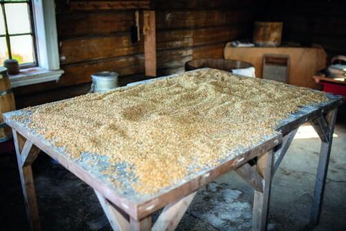 ØDELA MATEN: Haugo Stavenjord helte først vann over deler av kornet som skulle brukes til mat.