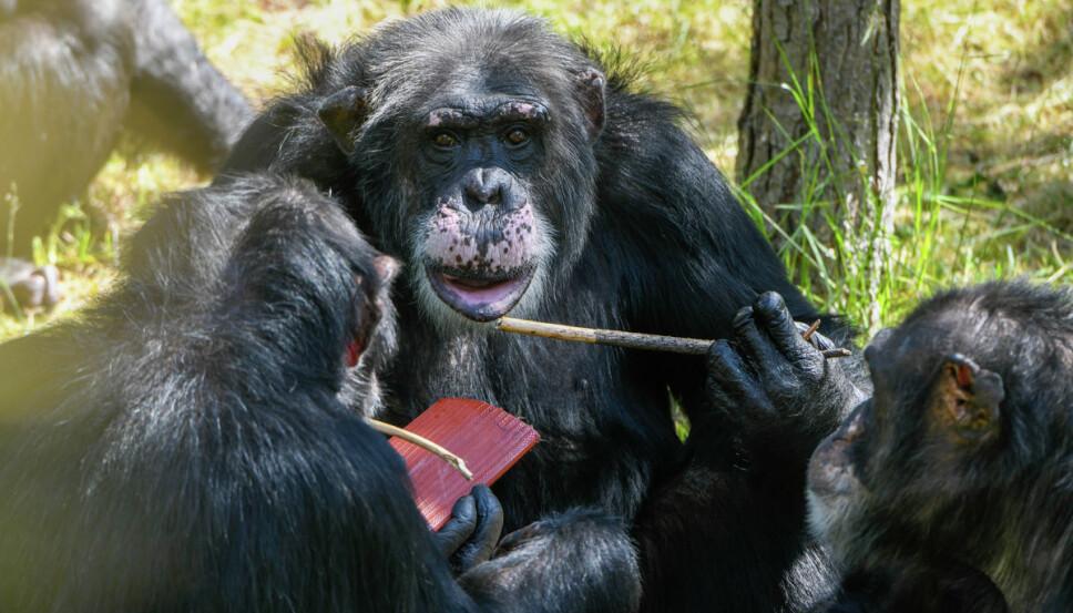 DEN UBESTRIDTE SJEFEN: Julius har tatt kommandoen over sjimpanseflokken i Kristiansand Dyrepark. Takk og lov for det, mener Edvard Moseid.