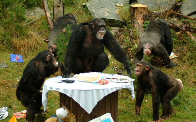 30-ÅRSFESTEN: Julius hoppet opp på bordet da han feiret sin 30-årsdag i 2009. Dyreparken har gått litt bort fra kakefeiringer de siste årene, men forteller at de vil markere den store dagen på en eller annen måte.
