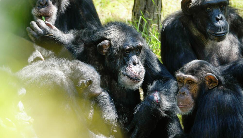 FLERE BARN? Julius (i midten) kan få lov til å sette flere barn til verden, fordi han er renraset vestafrikansk sjimpanse.